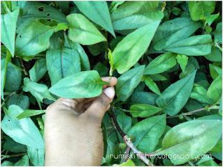 Modhuxulung leaves