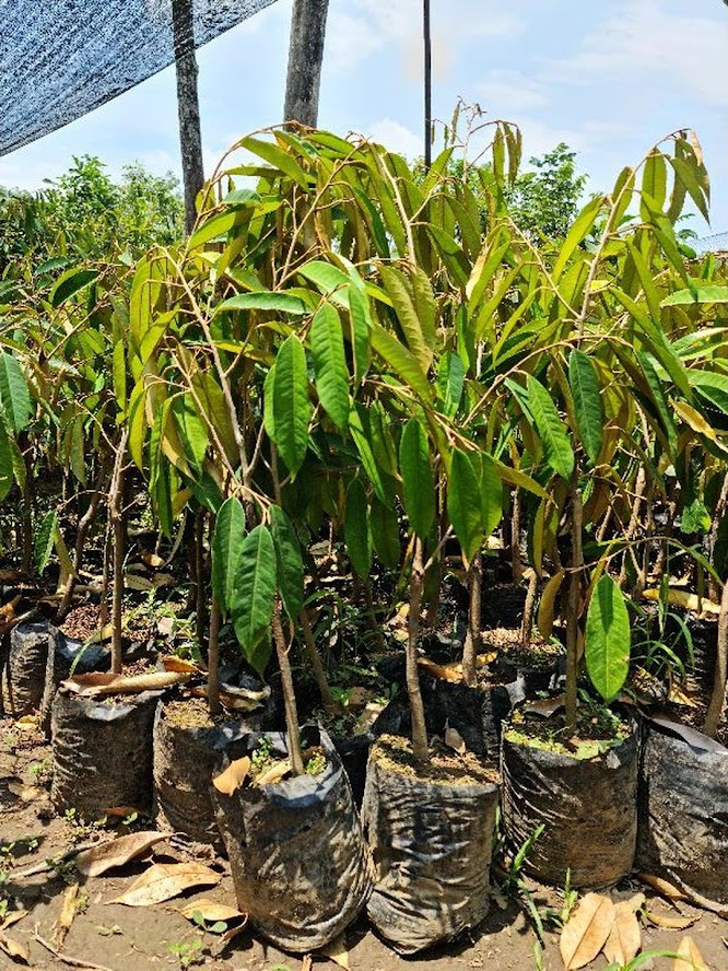 Bibit durian pelangi terlaris Kalimantan Tengah