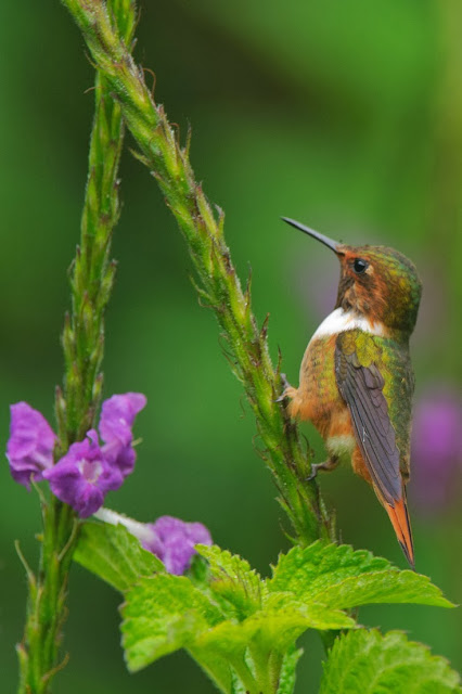 Hummingbird, Oh! I'm too little. How to climb on this plant branch?!