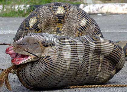 google wild snake eat cow in south sulawesi indonesia