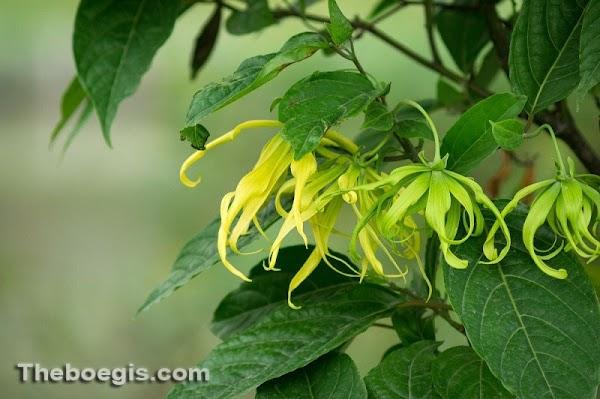 Benefits of Kenanga Flower for Body Health