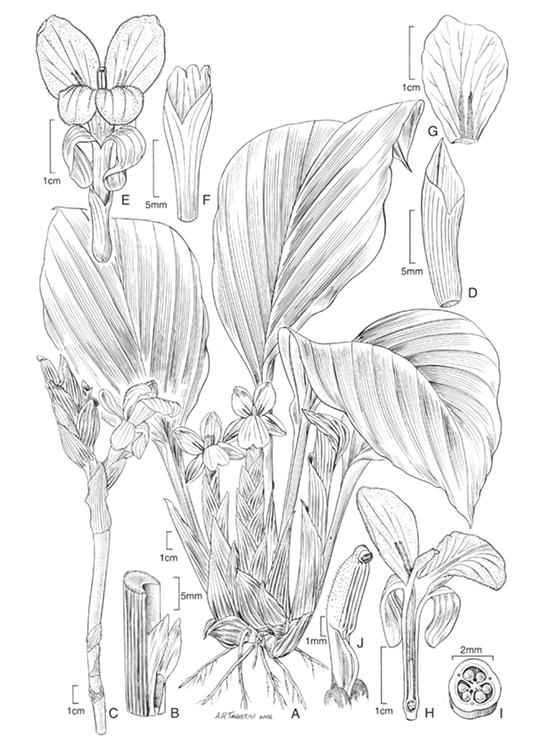 Distichochlamys rubrostriata