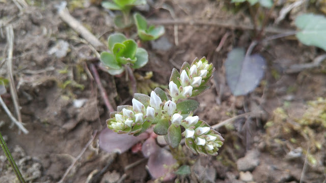 Three long clusters of small, white, Wild Stonecrop blossums.