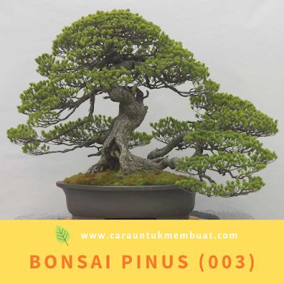 Bonsai Pinus (003)