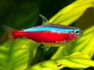 Cardinal Jenis Ikan Tetra Terpopuler