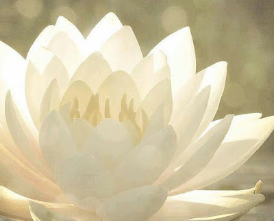 fleur-lotus-blanche-fond-gris-vert
