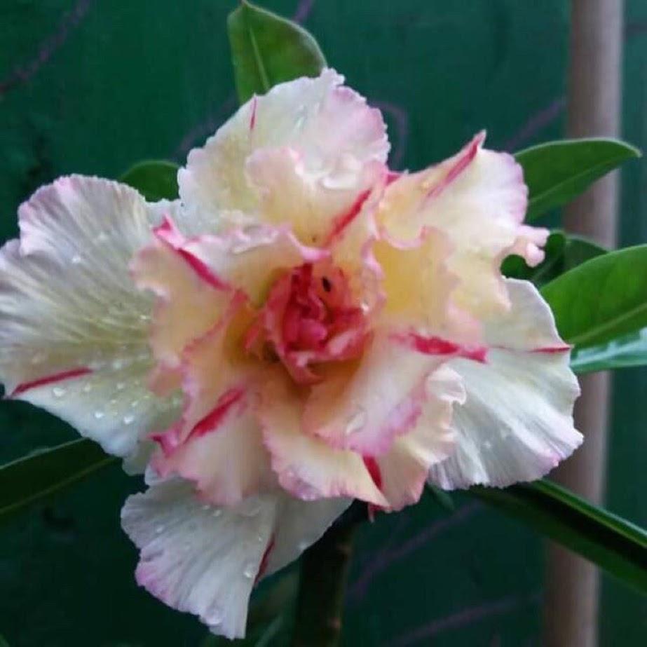 PROMO Paket 5 jenis warna bunga pohon kamboja jepang adenium tanaman hias bibit biji Palembang