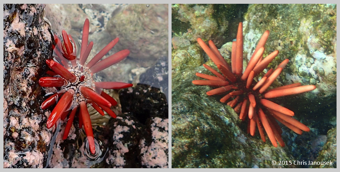 Heterocentrotus Mamillatus Left Low Intertidal Urchin From Milolii Right Subtidal Animal At Old Kona Airport