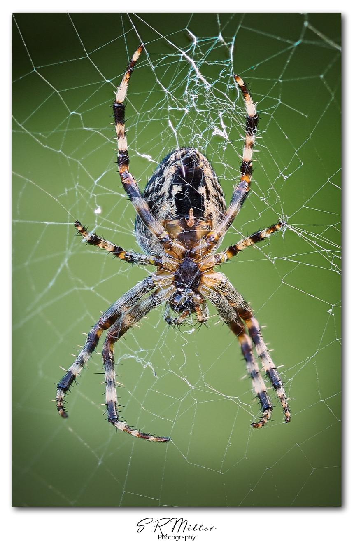 Garden Spider macro