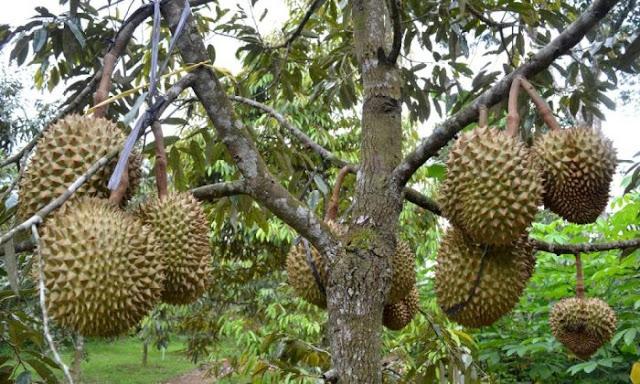 Keunggulan durian montong
