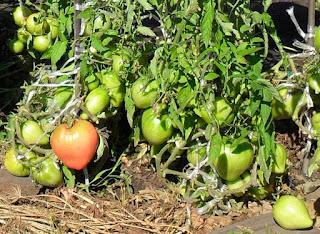 Чтобы помидоры были здоровые
