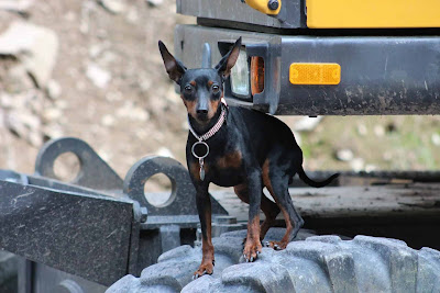 toy dog representative species, spaniel representative species