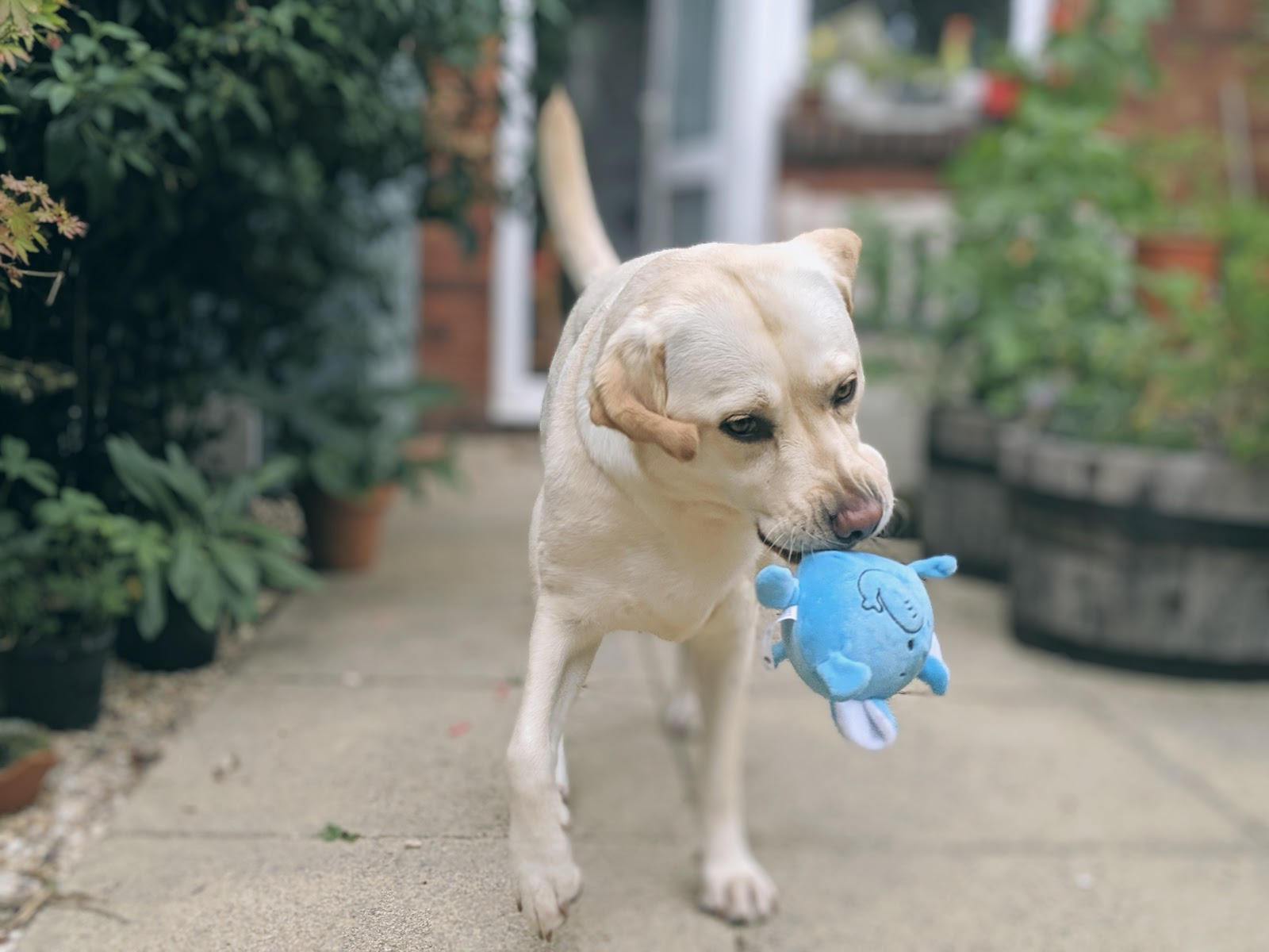 Scully the Labrador with blue elephant toy