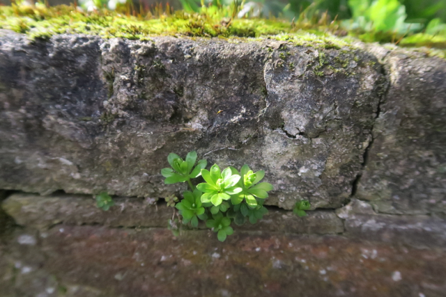 Green fresh leaves of sweet woodruff growing out of an old wall