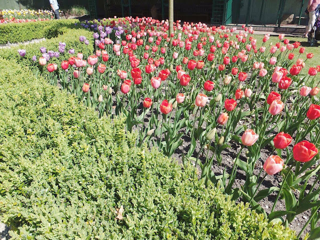Burnby-Hall-Red-&-Pink-Tulips