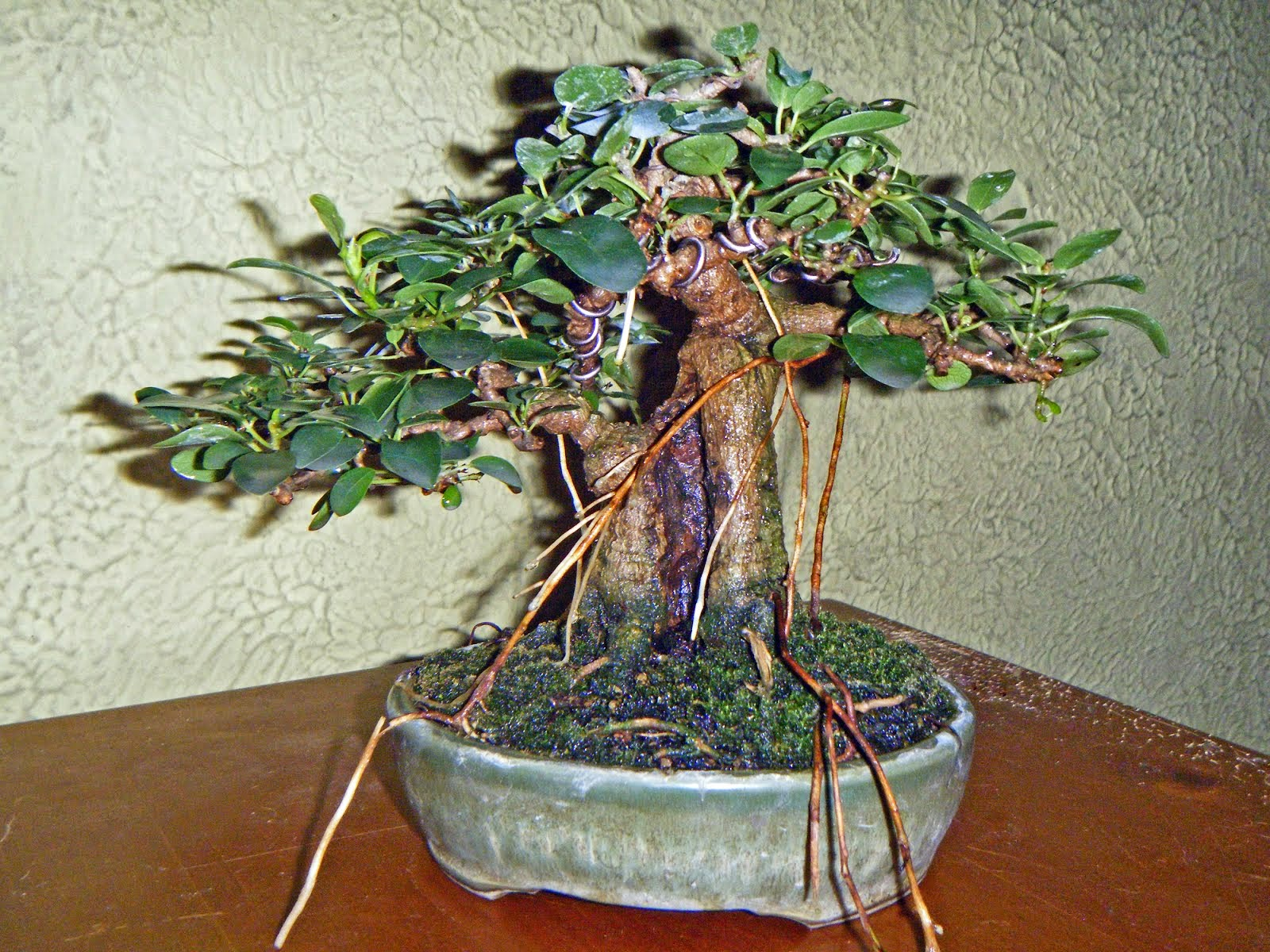 Bonsai In Hoosierland The Yew For Everyone Wiring Ficus Burtt Davyi Mame