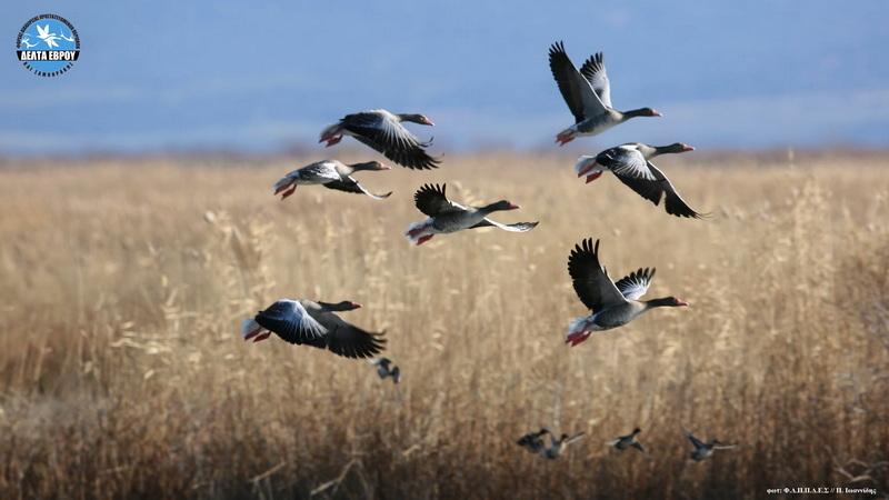 Πάνω από 40.000 πουλιά στο Δέλτα του Έβρου