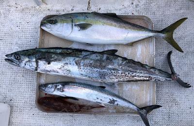 プレジャーボートでの海釣り 2020/11/17の釣果