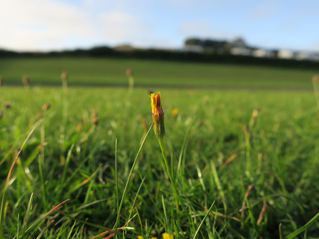 Yellow flower in grass. Dorset.
