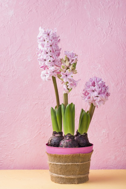 High angle flower pot of hyacinth Free Photo