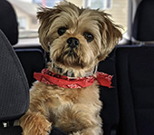 Oscar, Shih Tzu, moved from San Francisco, CA to the UK