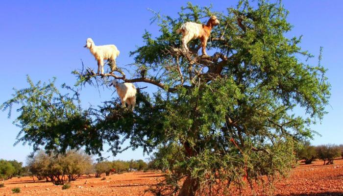 شجرة الأركان .. شجرة نادرة يتم عصر ثمارها لتعطي زيتاً سحرياً بالمغرب
