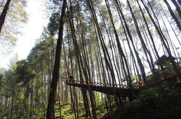 Hutan Pinus Temanggung