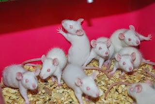 arti mimpi dikejar tikus, arti mimpi membunuh tikus, arti mimpi melihat tikus, arti mimpi digigit tikus, arti mimpi tikus masuk kamar, arti mimpi tikus banyak, arti mimpi tikus dimakan kucing, arti mimpi tikus mati, arti mimpi tikus putih,