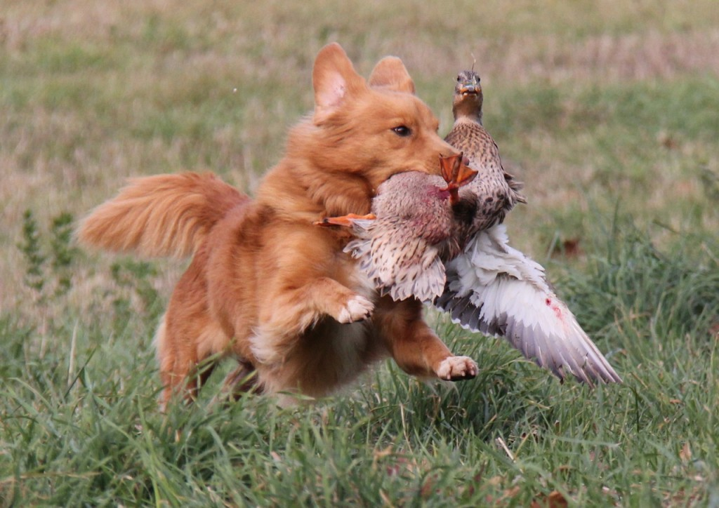 Duck Wings For Dog Training