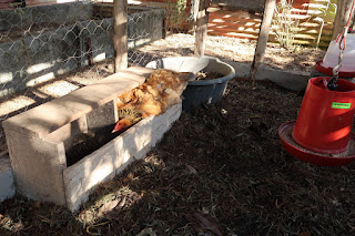 brahma hens in Puriscal