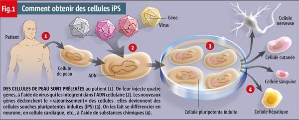 Ksjbio 164 Cellule Souche Pluripotente Induite Francais