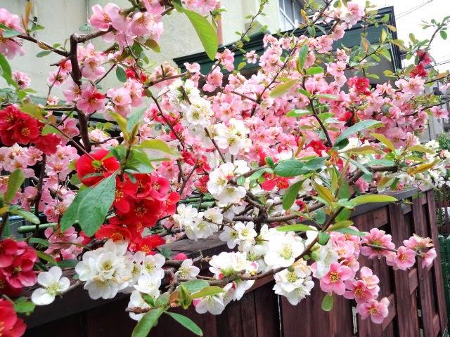 東京都世田谷区梅ヶ丘 桜