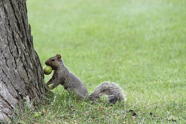 Squirrel gathering nuts by Cindee Snider Re via Flickr