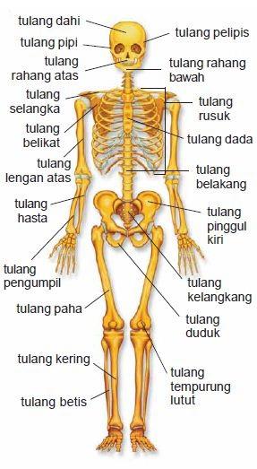 Fungsi Rangka Tubuh Sebagai Berikut Kecuali : fungsi, rangka, tubuh, sebagai, berikut, kecuali, BIOLOGI, GONZAGA:, KERANGKA, TUBUH, MANUSIA