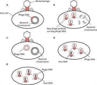 Antibiotics resistance genes transfer by bacteriophage