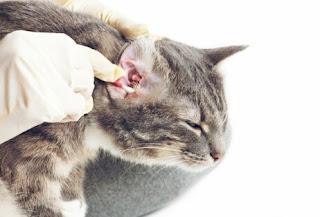 Cara Membersihkan Telinga Kucing sendiri