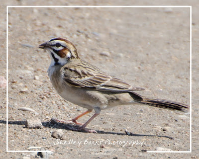 Lark Sparrow, Saskatchewan. © Shelley Banks, All Rights Reserved.
