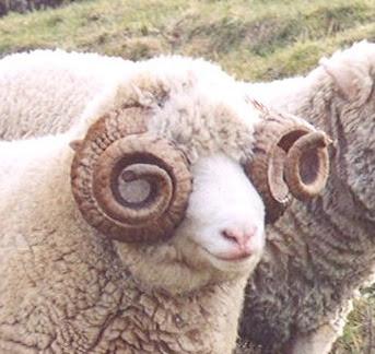 Dorset Horn advantages, disadvantages, Uses, Facts, Origin