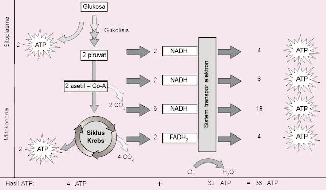 proses respirasi aerob pada organisme eukariotik