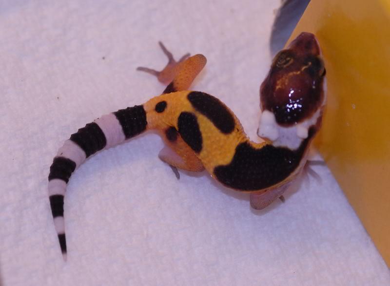 Reptiles Rawr!: Leopard geckosLeopard Gecko Hatchling Care
