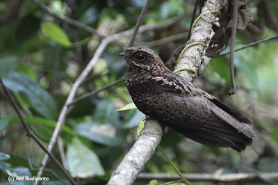 nightjar birds