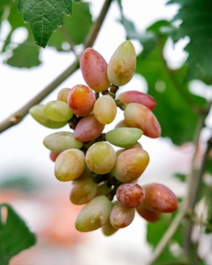 Bibit tanaman anggur baikonur VALID Maluku
