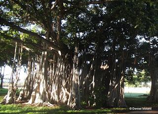 Huge banyan tree, Ala Moana Regional Park - Waikiki, Oahu, HI