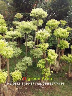 tanaman bonsai anting putri untuk taman minimalis