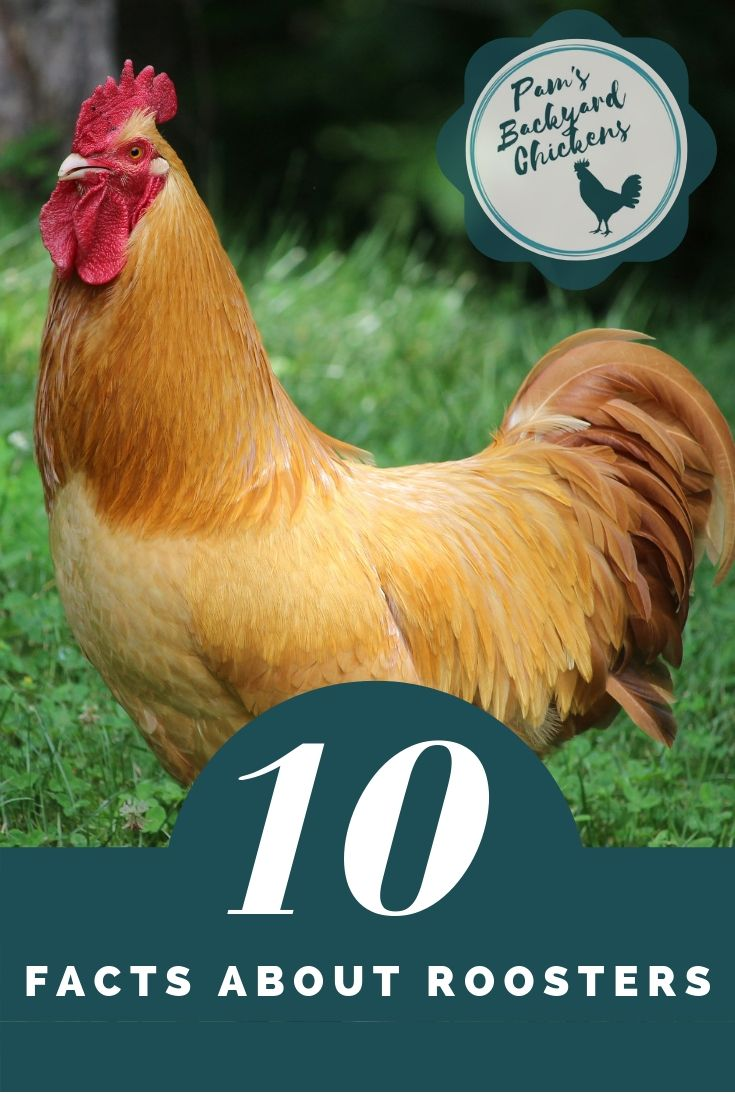 Pam S Backyard Chickens Top Ten Facts About Roosters