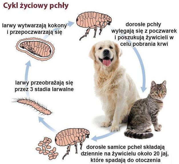 pies, kot pasożyty zewnętrzne