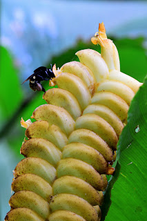 Puriscal Bee Flower