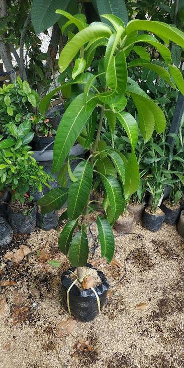 tanaman Buah bibit benih mangga aromanis arumanis harumanis simanalagi mangga madu Jawa Tengah