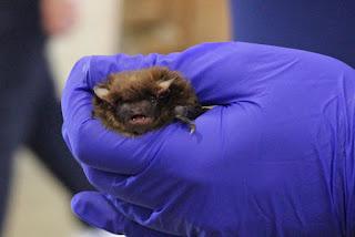 Bumblebee Bat types of bat