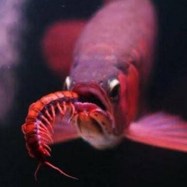Makanan Ikan Arwana Yang Aman dan Sehat